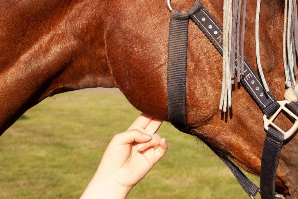 Puls beim Pferd