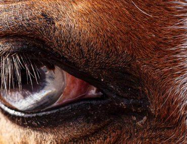 Periodische Augenentzündung beim Pferd