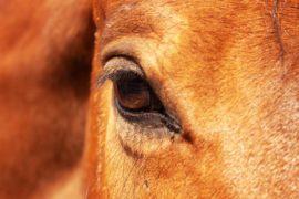 Sehsinn beim Pferd