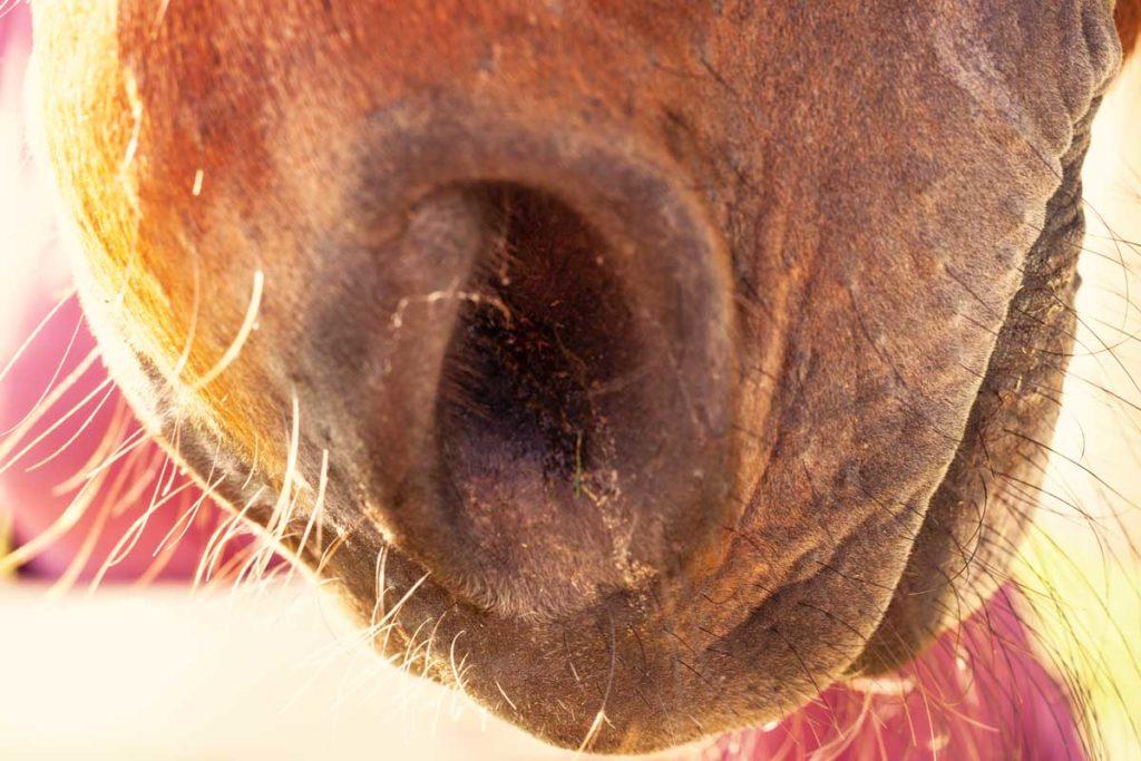 Geruchssinn beim Pferd