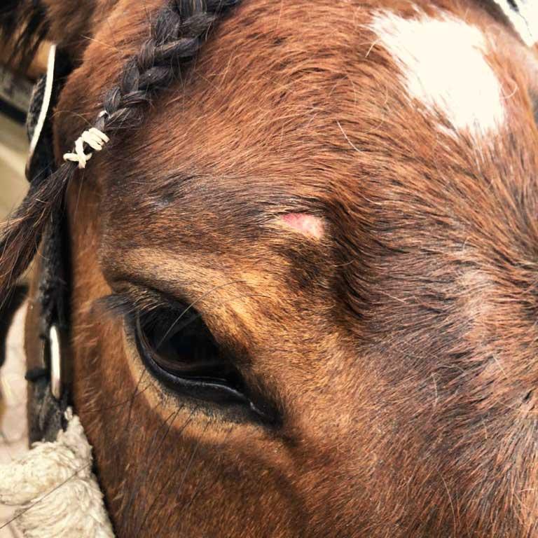 Oberflaechliche Wunde beim Pferd