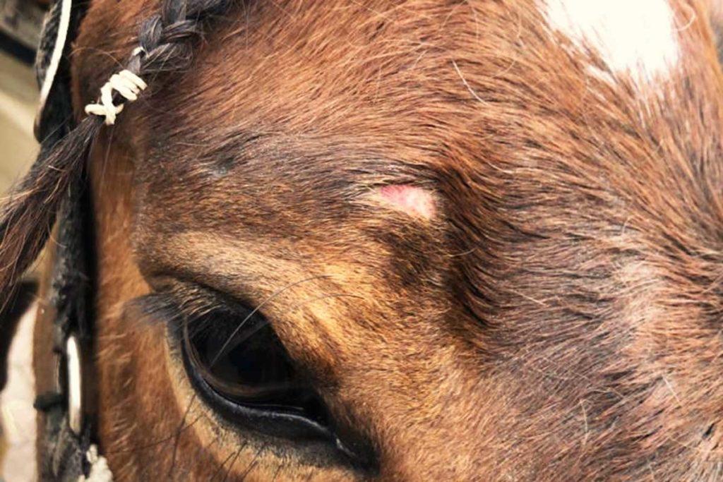Wunden beim Pferd