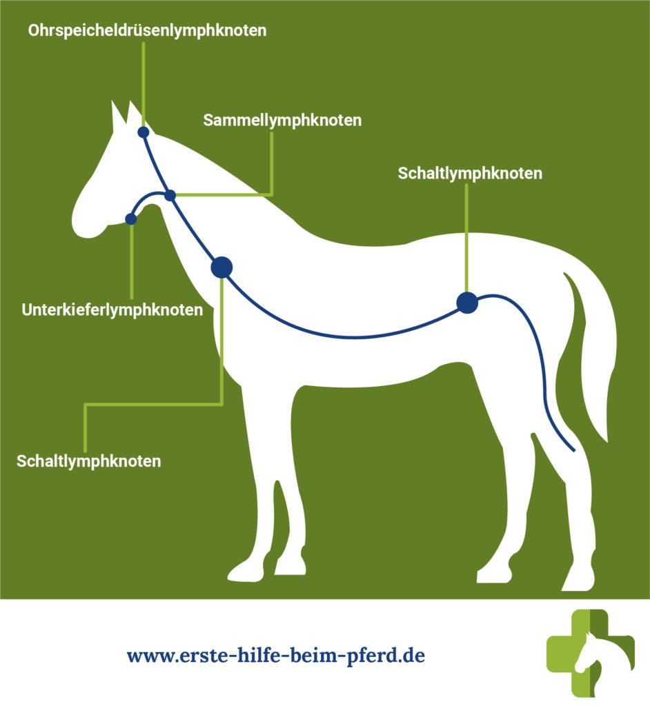Lymphknoten beim Pferd