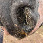 Nasenausfluss Pferd